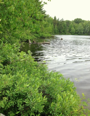 Undeveloped shoreline on Herendeene Lake in Benzie County great fishing
