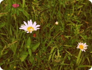 Daisies in Red Clover
