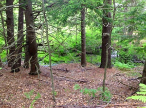 Pines and Cedar in the Deep woods