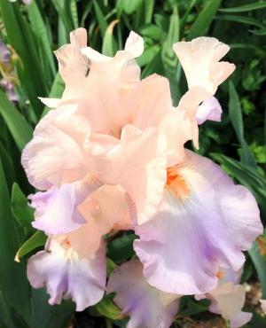 Peaches and Cream Iris