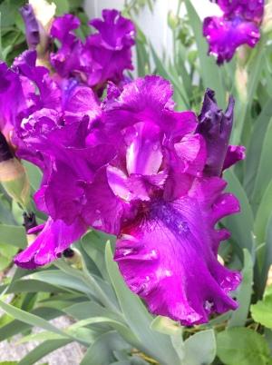 Rain drops on Purple Iris