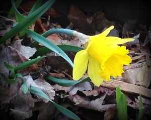 Lone daffodil in the woods