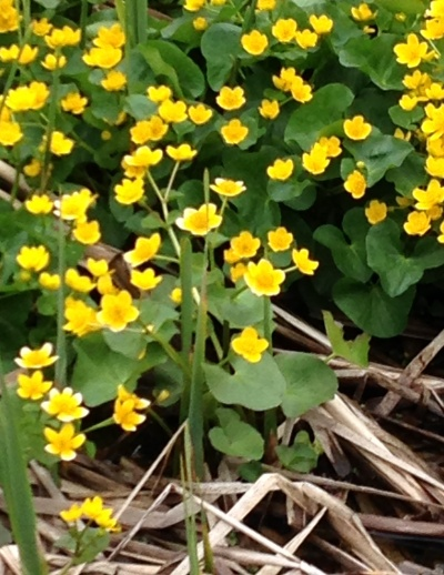 Marsh marigolds Leelanau County up close and personal