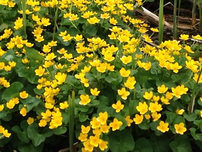 Marsh marigolds on the side of the road