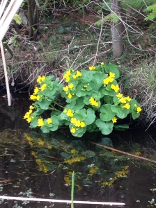 Marsh Marigolds on the side of the road in Leelanau County