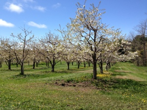 Apple blossoms in Leelanau County