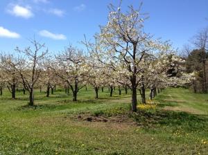 Apple blossoms in Leelanau County