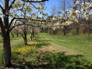 Apple blossom lane Leelanau County
