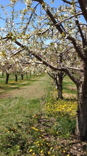 Apple blossoms Leelanau County