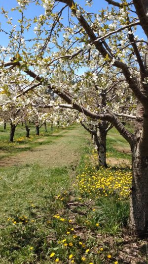Apple blossoms Leelanau County