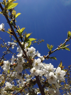 Apple blossom against blue sky Leelanau County