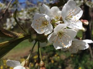 Apple blossom Leelanau County