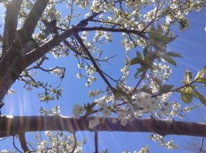 Apple blossom sun sprite Leelanau County