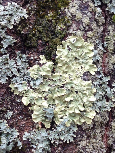 Lichen on tree at Spider Lake