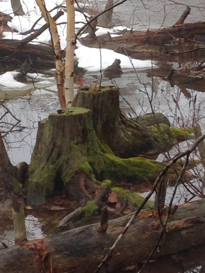 mossy stumps in the swamp on Spider Lake