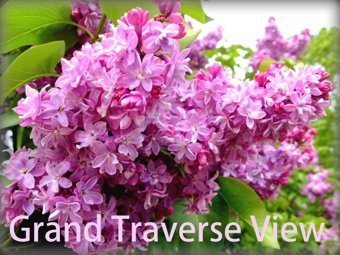 The lilac's are in bloom in Grand Traverse County!